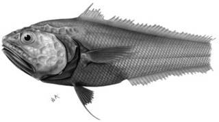 To NMNH Extant Collection (Gadomus bowersi P11244 illustration)