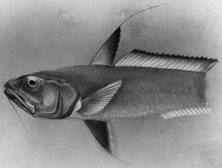 To NMNH Extant Collection (Gadomus collettii P11246 illustration)