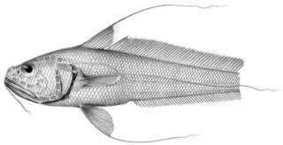 To NMNH Extant Collection (Gadomus magnifilis P11248 illustration)
