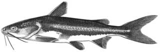 To NMNH Extant Collection (Galeichthys peruvianus P11293 illustration)