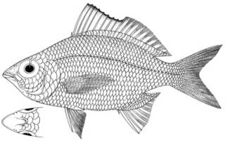 To NMNH Extant Collection (Gerres poieti P11347 illustration)