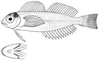 To NMNH Extant Collection (Giffordella corneliae P11349 illustration)
