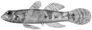 To NMNH Extant Collection (Eviota pruinosa P12626 illustration)