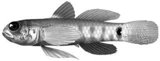 To NMNH Extant Collection (Eviota zonura P12629 illustration)