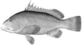 To NMNH Extant Collection (Garrupa nigrita P15647 illustration)