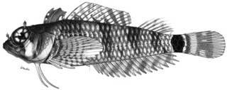 To NMNH Extant Collection (Gillias jordani P11367 illustration)