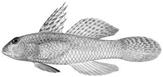 To NMNH Extant Collection (Gnatholepis sindonis P11442 illustration)