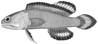 To NMNH Extant Collection (Gnathypops evermanni P11478 illustration)