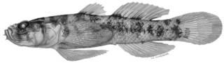 To NMNH Extant Collection (Gobiopsis springeri P01588 illustration)