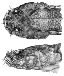 To NMNH Extant Collection (Gobiopsis woodsi P09354 illustration)