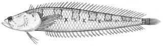 To NMNH Extant Collection (Gillellus semicinctus P11366 illustration)