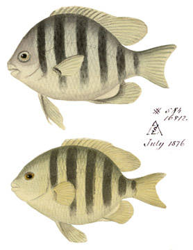 To NMNH Extant Collection (Gliphidodon saxatilis P11394 illustration)