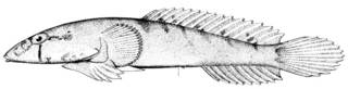To NMNH Extant Collection (Gobiesox pinniger P11490 illustration)