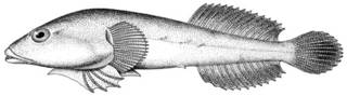 To NMNH Extant Collection (Gobiesox maeandricus P11488 illustration)