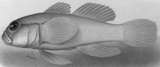 To NMNH Extant Collection (Gobiopterus farcimen P11542 illustration)