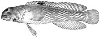 To NMNH Extant Collection (Gnathypops iyonis P13086 illustration)