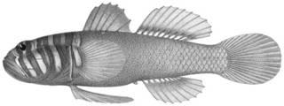 To NMNH Extant Collection (Zonogobius boreus P04221 illustration)