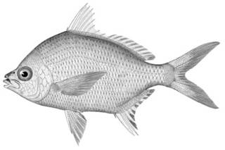 To NMNH Extant Collection (Gerres olisthostoma P11344 illustration)