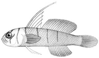 To NMNH Extant Collection (Gobius dalli P11565 illustration)