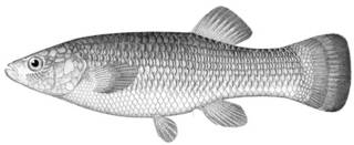 To NMNH Extant Collection (Fundulus heteroclitus P01784 illustration)