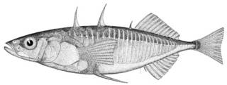To NMNH Extant Collection (Gasterosteus cataphractus P08603 illustration)