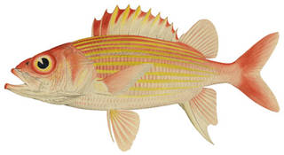 To NMNH Extant Collection (Flammeo scythrops P11178 illustration)