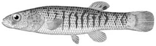 To NMNH Extant Collection (Fundulus confluentus P11210 illustration)