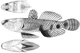 To NMNH Extant Collection (Gobius kellersi P11579 illustration)