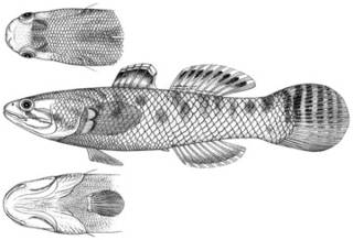 To NMNH Extant Collection (Gobius limbensis P11581 illustration)