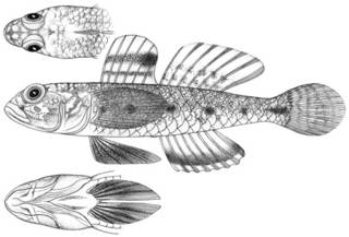 To NMNH Extant Collection (Gobius niveus P11588 illustration)
