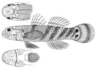 To NMNH Extant Collection (Gobius obliquifasciatus P11590 illustration)