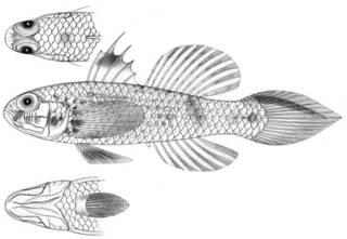 To NMNH Extant Collection (Gobius pectoralis P11597 illustration)