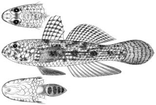To NMNH Extant Collection (Gobius phoraspis P11600 illustration)