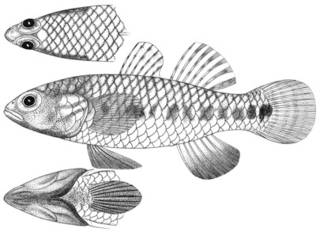 To NMNH Extant Collection (Gobius umbramentum P11607 illustration)