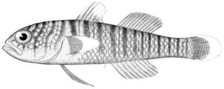 To NMNH Extant Collection (Gobius zebra P11609 illustration)