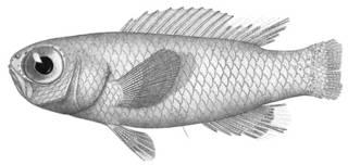 To NMNH Extant Collection (Grammatonotus laysanus P11654 illustration)