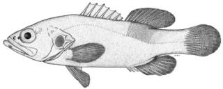 To NMNH Extant Collection (Grammistops ocellatus P11666 illustration)