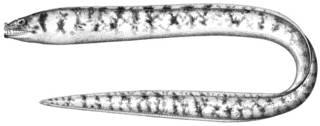 To NMNH Extant Collection (Gymnothorax gracilicauda P11747 illustration)