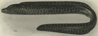 To NMNH Extant Collection (Gymnothorax pictus P11787 illustration)