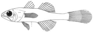 To NMNH Extant Collection (Gymnapogon gracilicauda P11675 illustration)