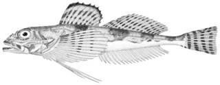To NMNH Extant Collection (Gymnocanthus galeatus P11683 illustration)