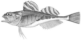 To NMNH Extant Collection (Gymnocanthus pistilliger P11690 illustration)