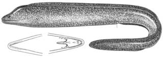 To NMNH Extant Collection (Gymnothorax wieneri P11808 illustration)