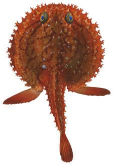 To NMNH Extant Collection (Halieutaea stellata P12063 illustration)