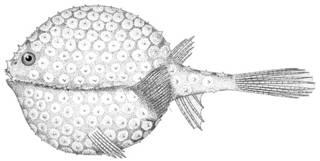 To NMNH Extant Collection (Halieutella lappa P12178 illustration)