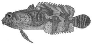 To NMNH Extant Collection (Halophryne diemensis P12183 illustration)