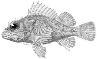 To NMNH Extant Collection (Helicolenus rufescens P12241 illustration)