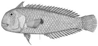 To NMNH Extant Collection (Hemipteronotus hypospilus P12282 illustration)