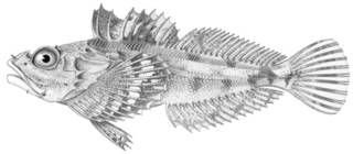 To NMNH Extant Collection (Hemilepidotus hemilepidotus P01521 illustration)