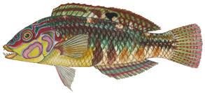To NMNH Extant Collection (Halichoeres nebulosus P12134 illustration)